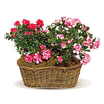 Awesome Azaleas: Women's Day Gift Delivery in Canada