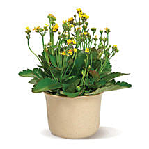 Charming Kalanchoe: Send Gifts to Brampton