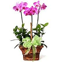 3 phalaenopsis orchids CIN: Valentine Gifts to China