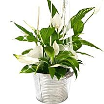 Peace Lily Bucket: Gifts to Frankfurt