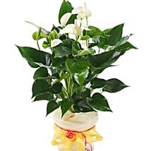 White Anthurium Pot: Father's Day Presents to Germany