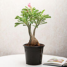 Adenium Desert Rose: Send Gifts to Rohtak