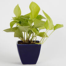 Adorable Money Plant: Money Tree