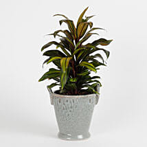 Air Purifying Cordyline Plant:
