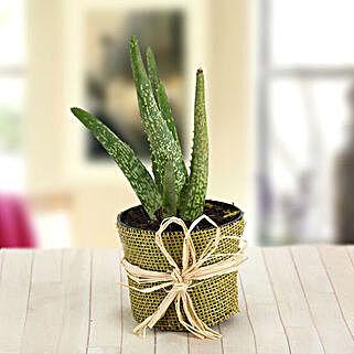Aloe Vera Care: Send Plants to Chennai