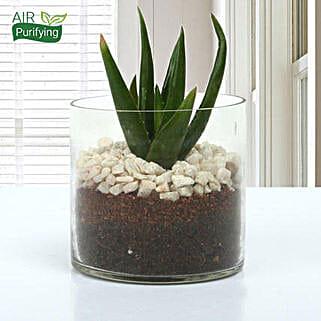 Aloe Vera Glory Terrarium: Terrariums & Fairy Gardens