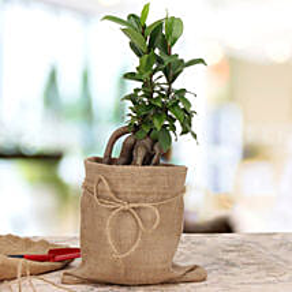 Amazing Ficus Microcarpa Plant: Plants to Chennai