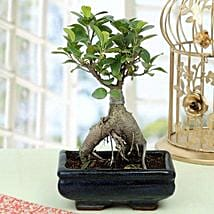 Appealing Ficus Ginseng Bonsai Plant: Gift Delivery in Etah