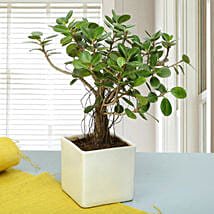 Attractive Ficus Iceland Bonsai Plant: Gift Delivery in Etah