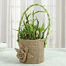 Bamboo Plant In Style: Send Lucky Bamboo for Diwali
