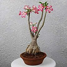 Beautiful Desert Rose Bonsai Plant: Flowering Plants