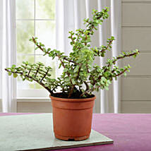 Beautiful Jade Plant: Good Luck Plants - Friendship Day