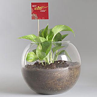 Best Sister Money Plant Terrarium: Plants For Raksha Bandhan