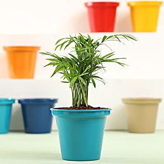 Chamaedorea In Green Metal Pot: Indoor Plants