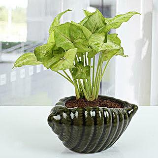 Dark green Shell Syngonium Plant: Best Outdoor Plant