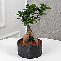 Dashing Ficus Microcarpa Bonsai: Send Plants for Birthday
