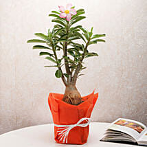 Desert Rose Adenium Plant: Potted Plants