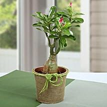 Desert Rose Beautiful Plant: Rakhi for Brother to Qatar