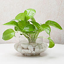 Divine Money Plant Terrarium: Same Day Delivery Gifts