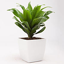 Dracaena Compacta Plant in White Plastic Pot: Cakes to Gangapur-City