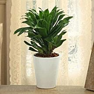 Dracaena Compacta Plant: Home Decor items for Christmas