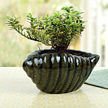 Elegant Shell Buxus Plant: Send Cakes to Doha