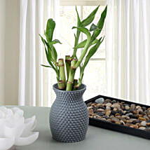 Energizing Bamboo Plant: Plants delivery in Mohali