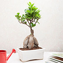 Exotic Ficus Bonsai Plant: Home Decor for Diwali