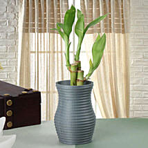 Feel Lucky Bamboo Plant: Send Lucky Bamboo to Pune