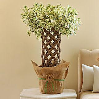 Ficus Crache Starlight Bonsai Plant: Premium Plants