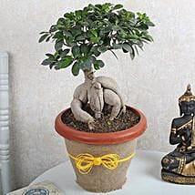 Ficus Microcarpa Bonsai 1000gm: Premium Plants