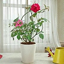 Fragrant Rose Plant: Send Plants to Ghaziabad