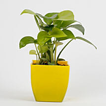 Golden Money Plant in Imported Plastic Pot: Plants for House Warming