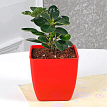 Gorgeous Ficus Compacta Plant: Thank You Gifts for Teacher
