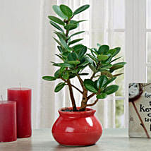 Green Ficus Dwarf Beauty Plant: Send Plants to Indore