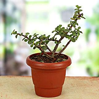Green Gift Jade Crassula: Plants to Chennai
