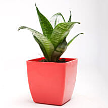 Green Sansevieria Plant in Red Plastic Pot: Cactuses & Succulents