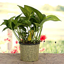 Growing 24x7 Money Plant: Home Decor Gifts for Christmas