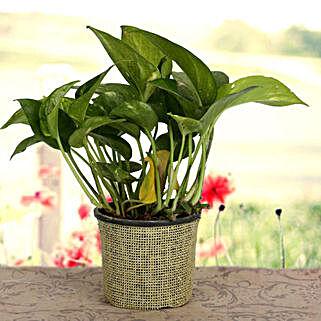 Growing 24x7 Money Plant: Money Tree