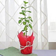 Holy Tulsi Plant: Outdoor Plants
