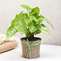 Hue of Green Syngonium Plant: