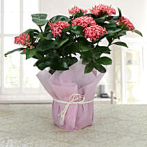 Ixora Blooms: Potted Plants