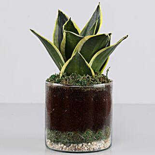 "Jade Marginata Snake Plant 4"" Glass Terrarium: Jade Plant"