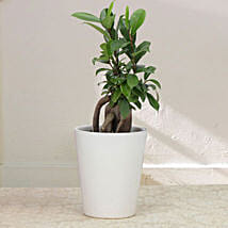 Keepsake Ficus: Karva Gifts for Mother in Law