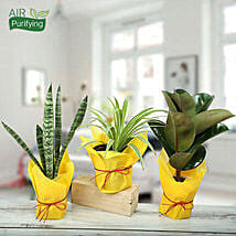 Live Green Trio Plants: Send Indoor Plants