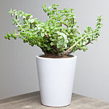 Lively Jade Plant: Outdoor Plants