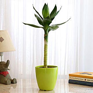 Lotus Bamboo In Green Fiber Pot: Bamboo Plants