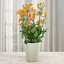 Love For Kalanchoe: Plants - Same Day Delivery
