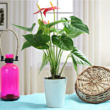 Lovely Anthurium Plant: Flower Plant