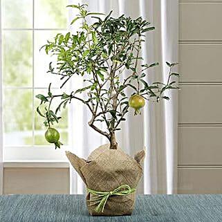 Lovely Bonsai Pomegranate Plant: